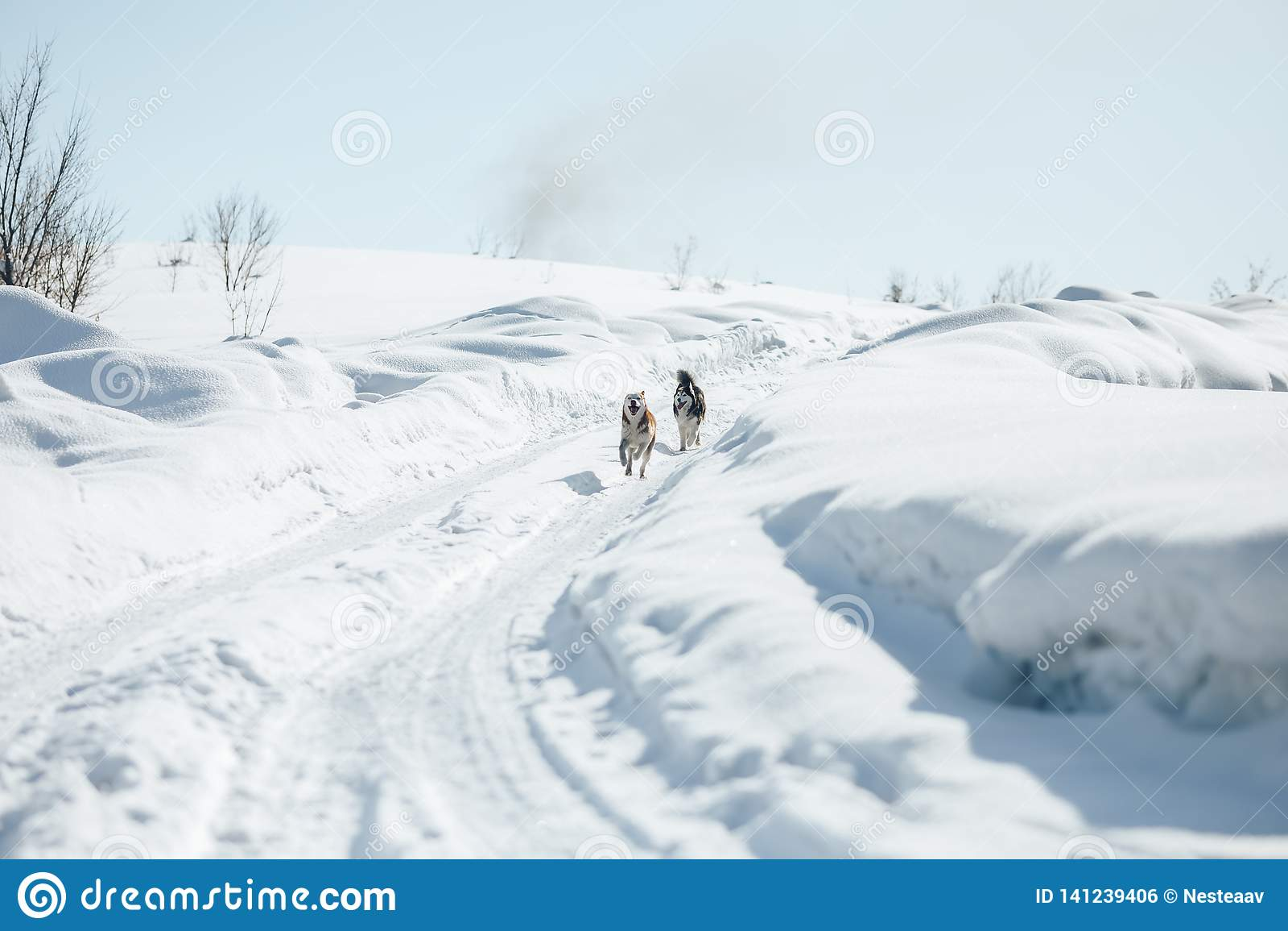 Deux Sibérien heureux drôle Husky Dogs Running Together Outdoor en parc de Milou chez Sunny Winter Day Crabot de sourire Les chie