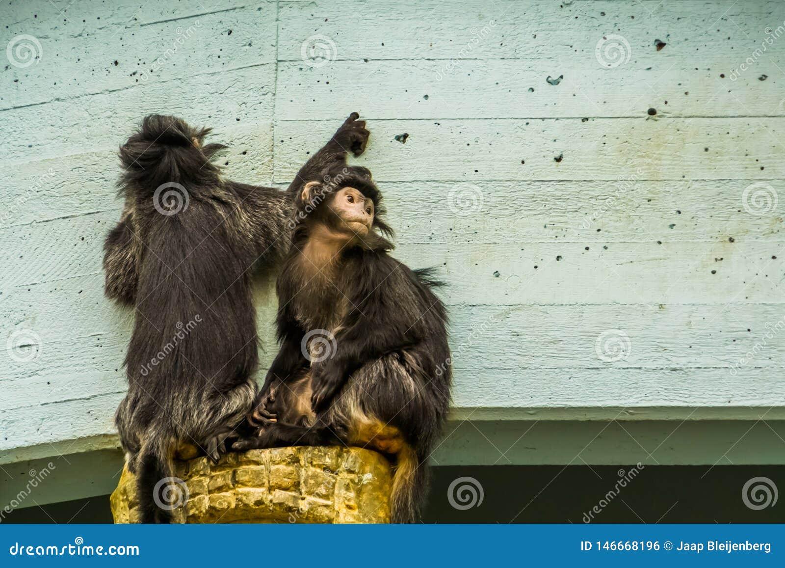 Deux singes javan de lutung ensemble, primats tropicaux de l île de Java de l Indonésie, espèce animale vulnérable
