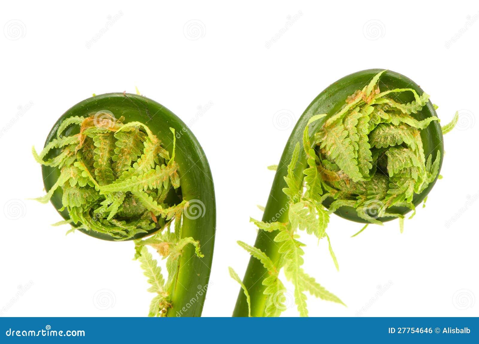 Deux spirales de bourgeons de fougère d isolement sur le blanc