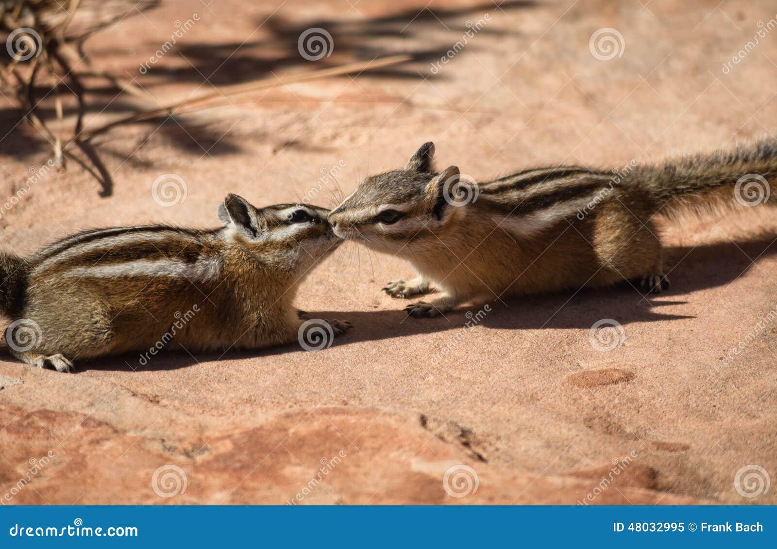 Deux Tamia En Nature Gratuite Image Stock Image Du Animal