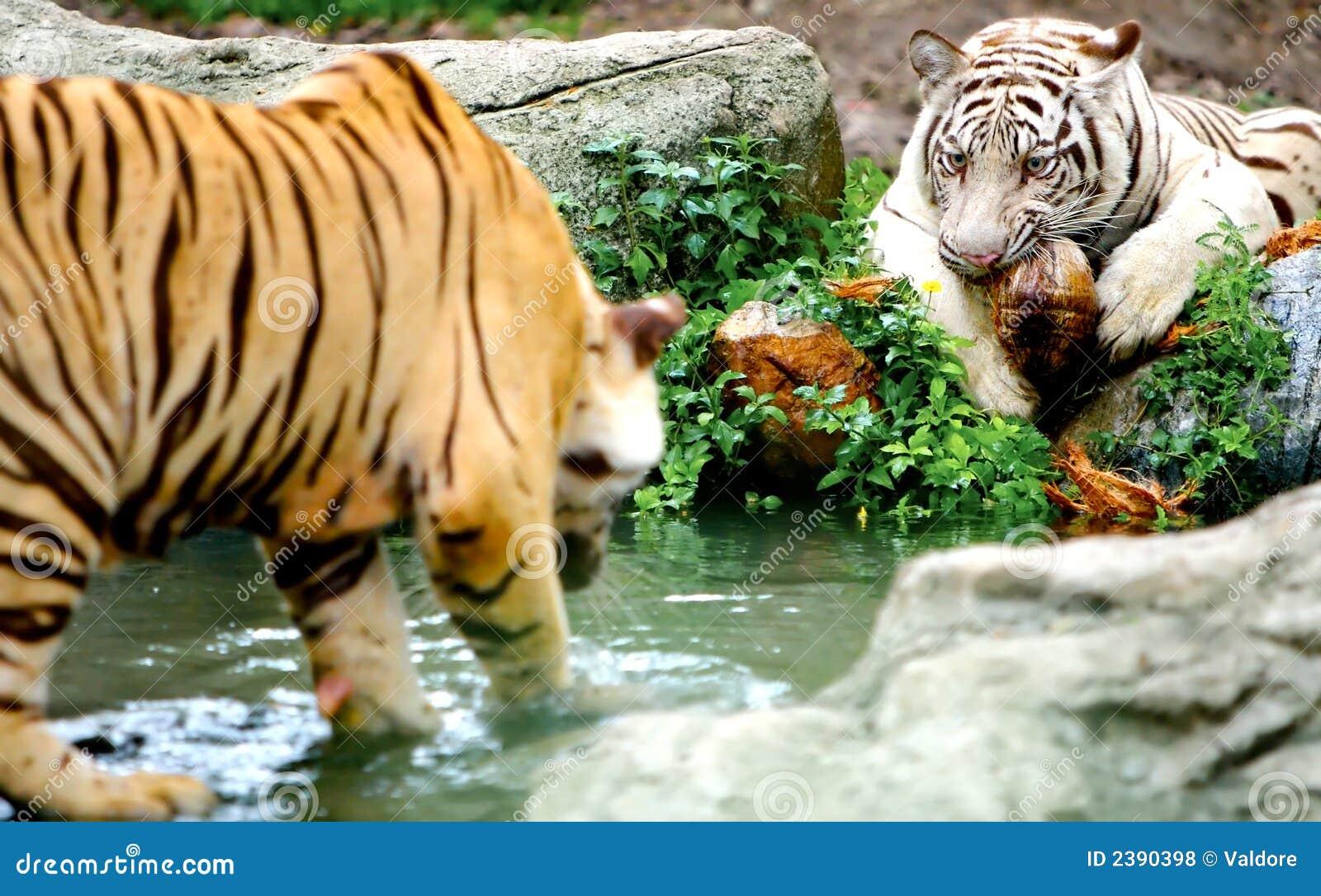 Deux tigres photos libres de droits image 2390398 - Images tigres gratuites ...