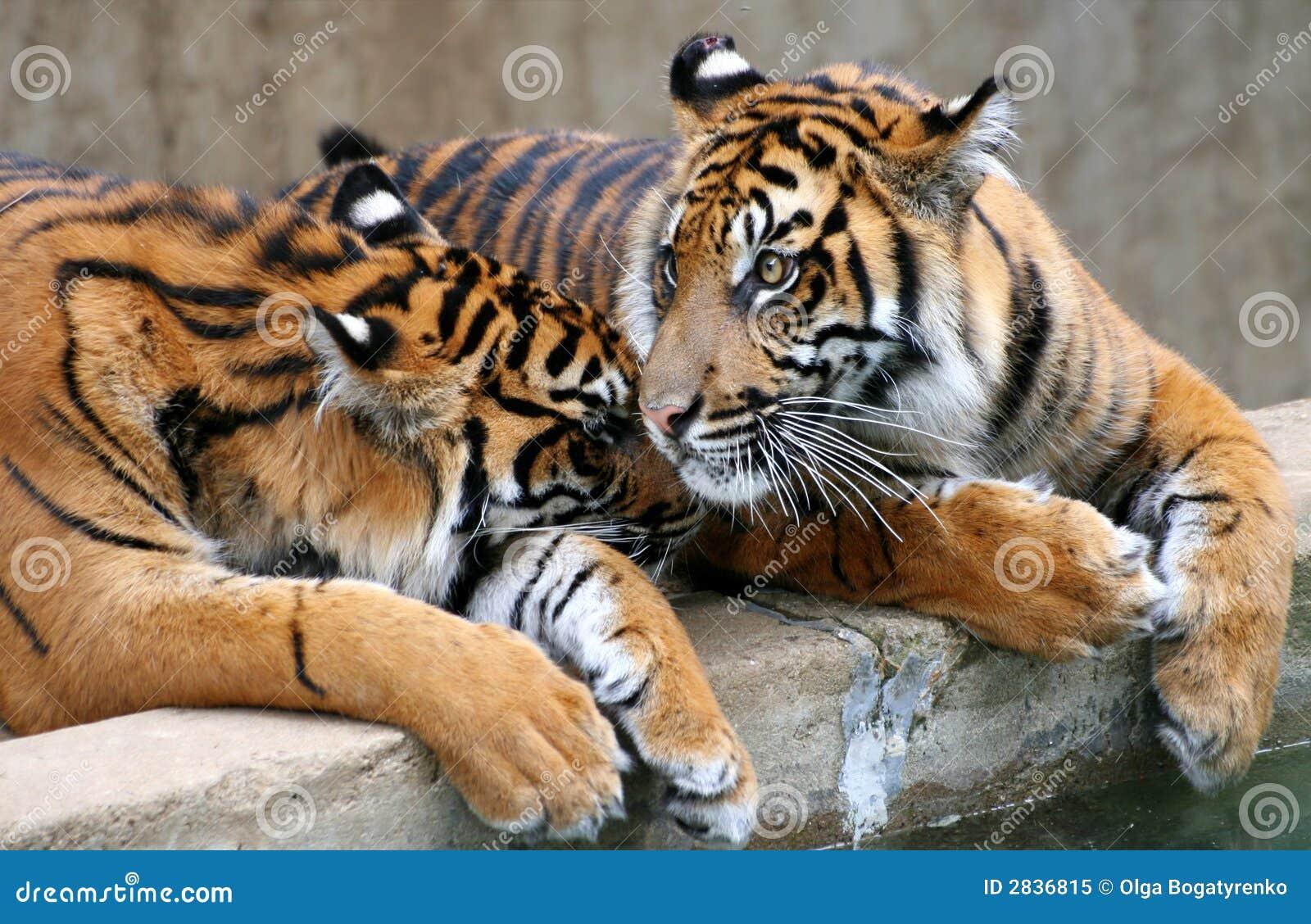 Deux tigres image stock image du pouvoir raie motion - Images tigres gratuites ...