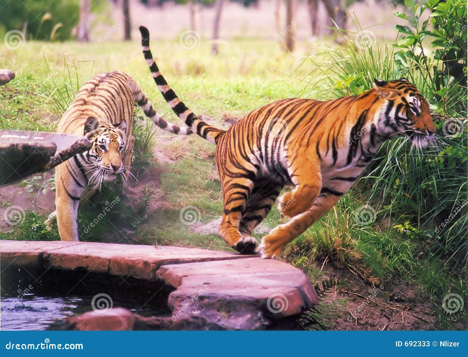Deux tigres image stock image du asiatique couleur - Images tigres gratuites ...
