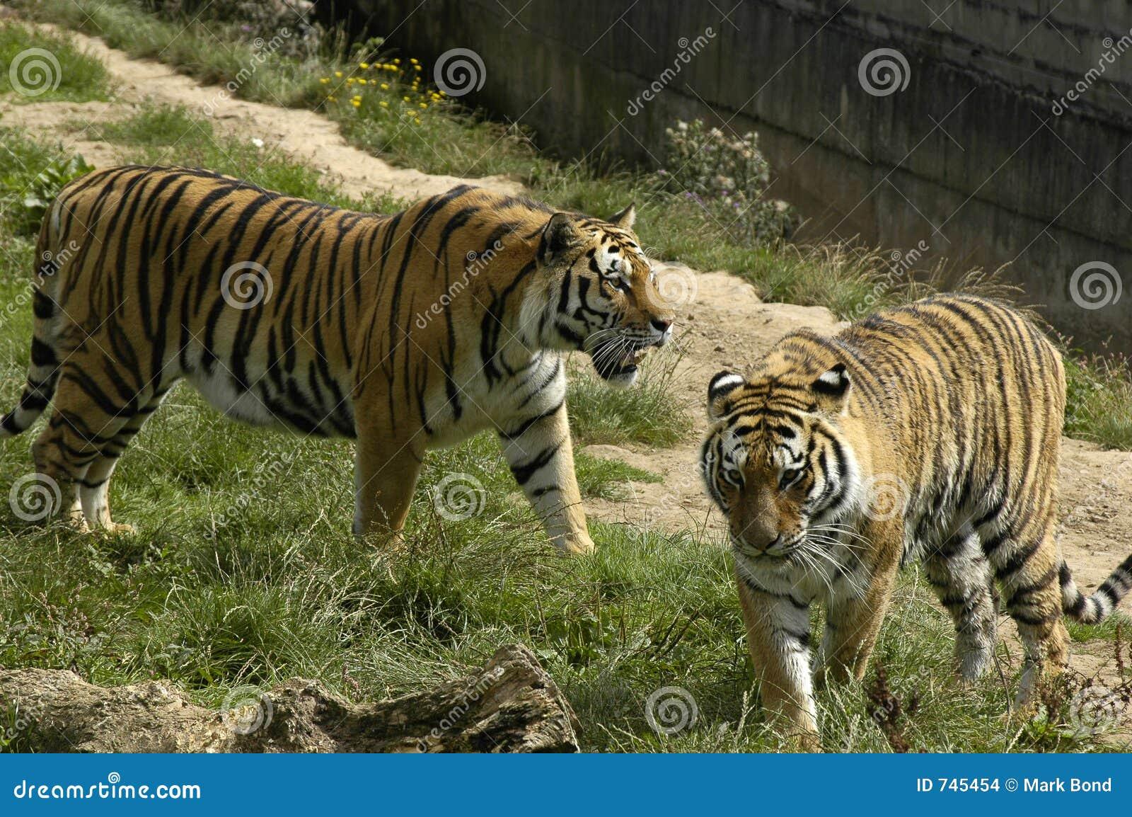 Deux tigres