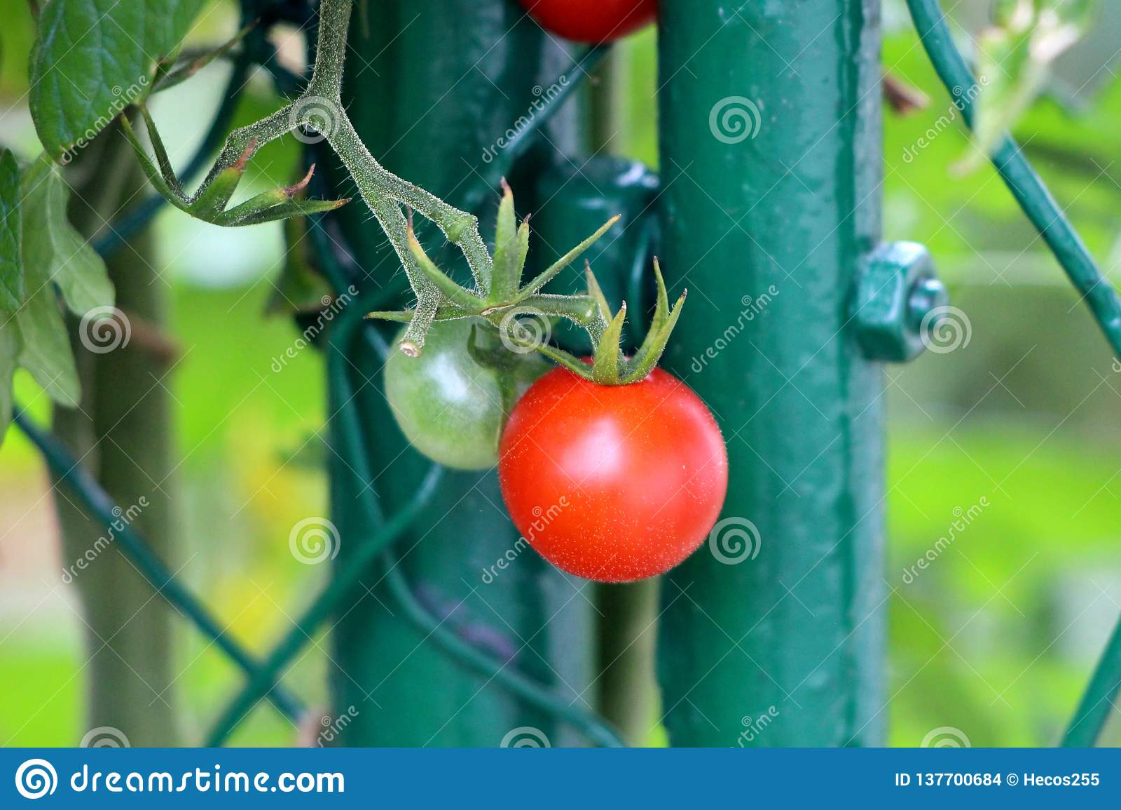 Deux Tomates-cerises Rouges Et Vert Clair Lumineuses S ...