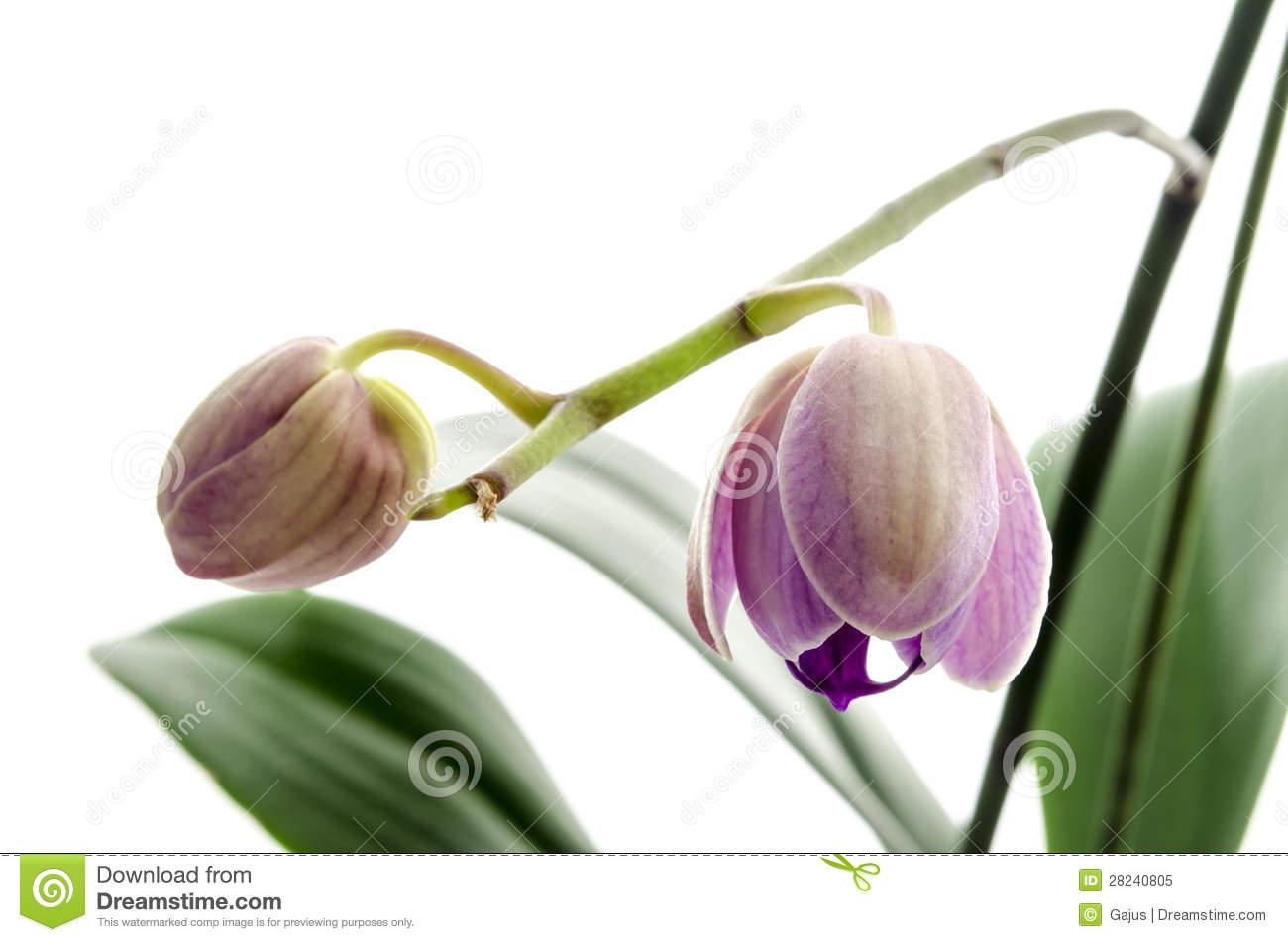 Royalty Free Stock Photo: Developing flower buds: dreamstime.com/royalty-free-stock-photo-developing-flower-buds...