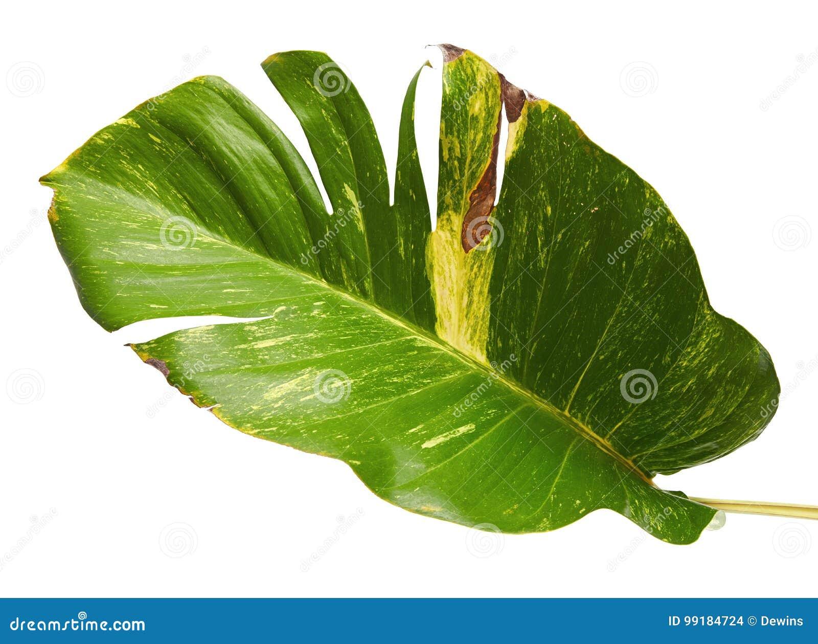 Devils Ivy Golden Pothos Epipremnum Aureum Heart Shaped Leaves