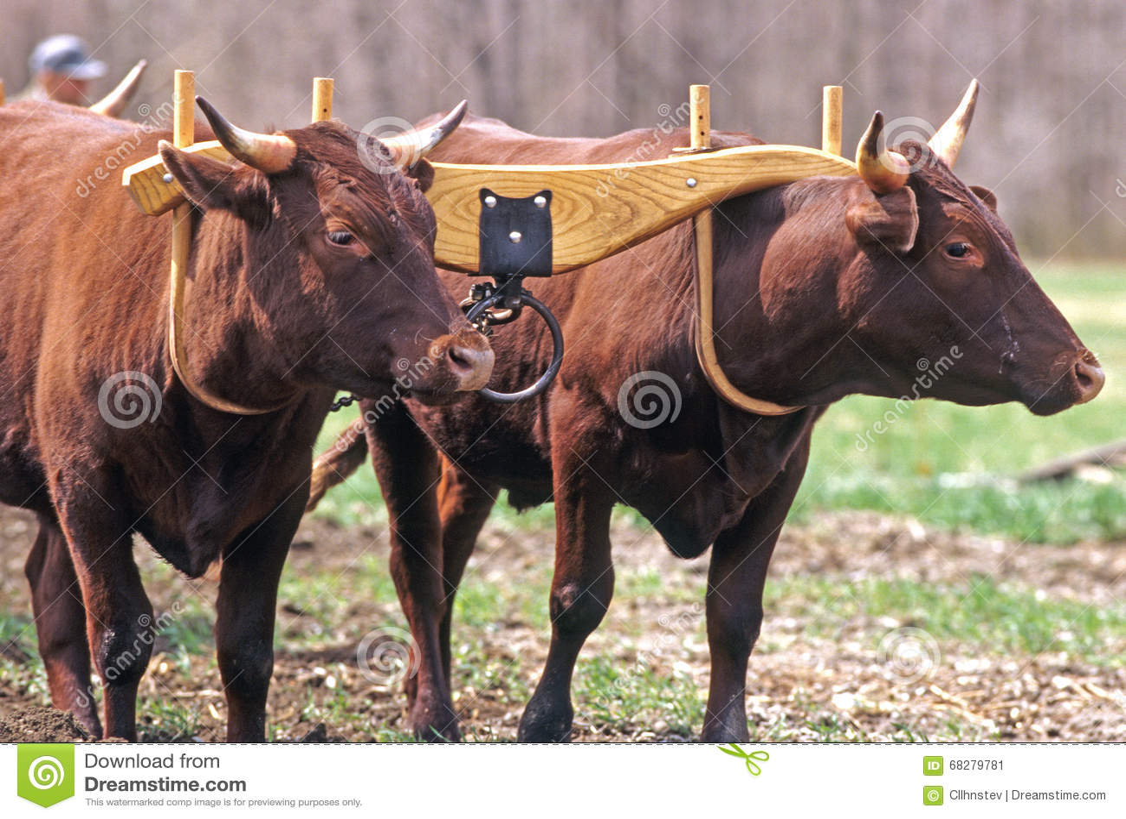 Devon Oxen