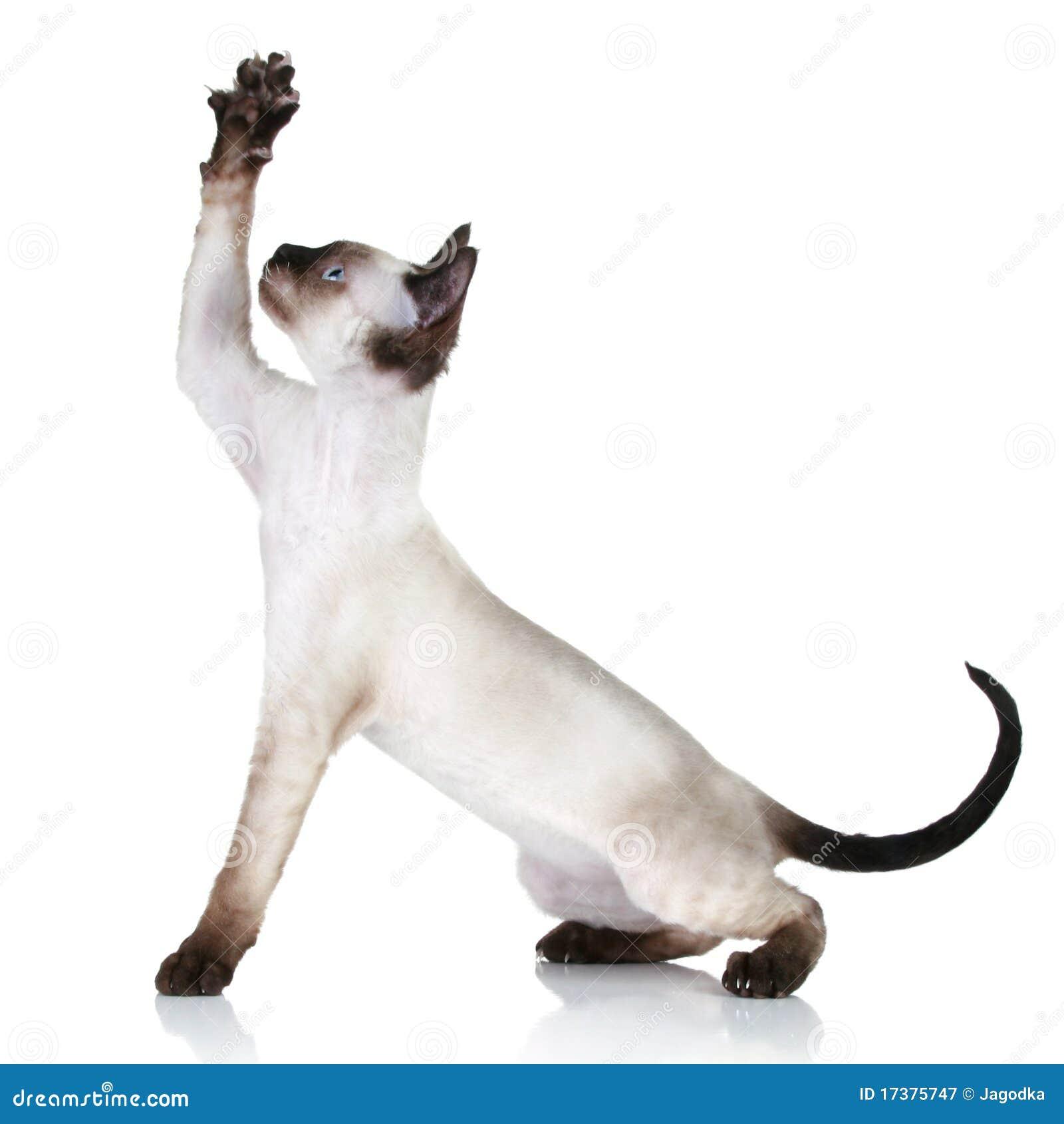 Devon Rex Cat Pulls Paw Upwards Royalty Free Stock