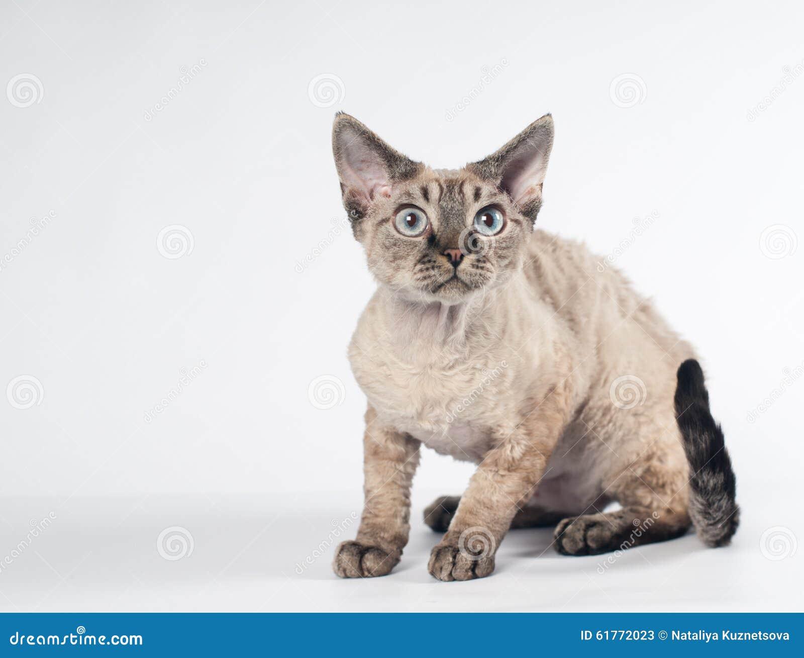 Devon Rex Kot Na Białym Tle Obraz Stock Obraz Złożonej Z Purebred
