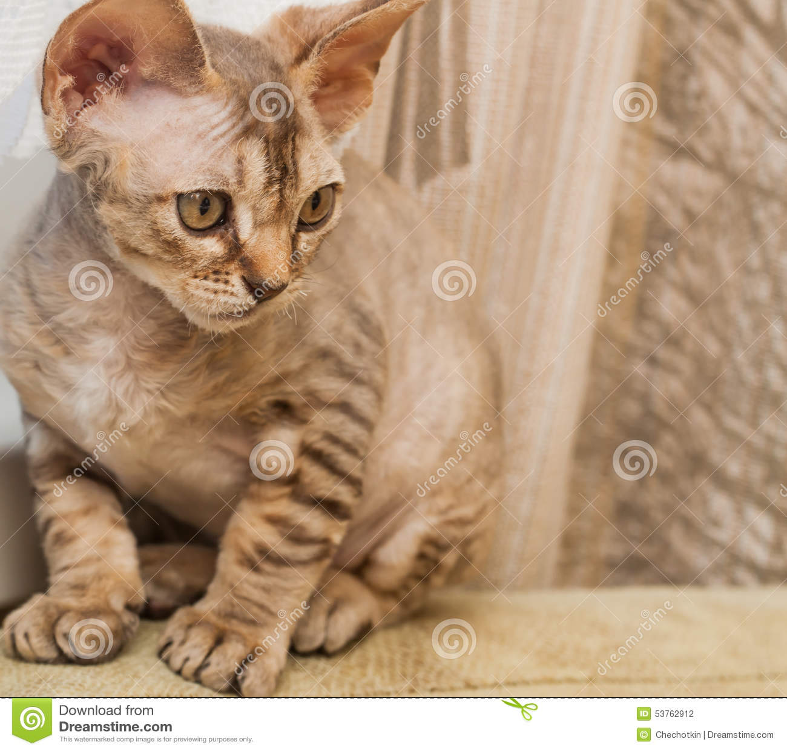 Devon Rex Trakenu Kot Zdjęcie Stock Obraz Złożonej Z Devon 53762912