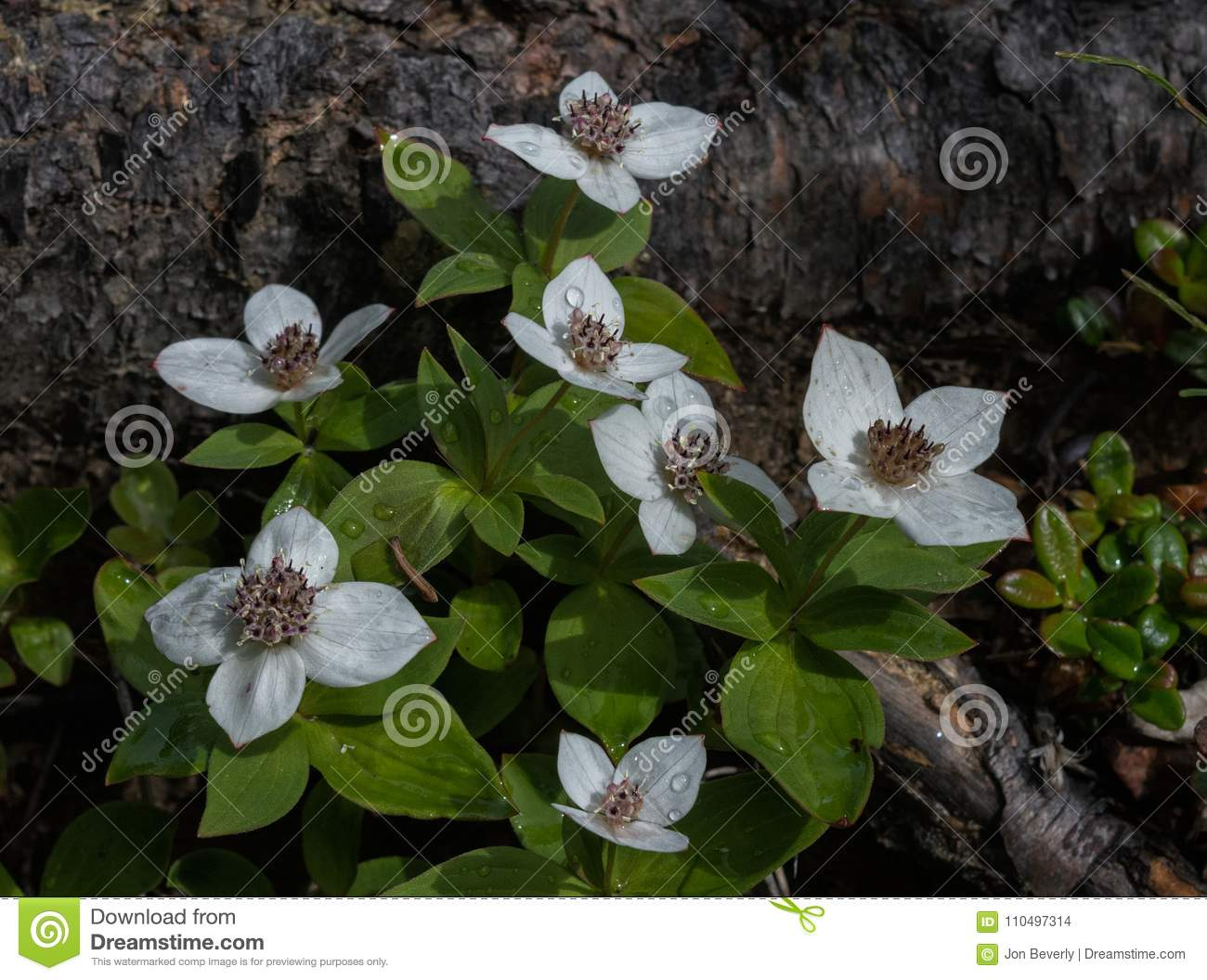 Dew Covered Blooming Bunch Berries Stock Photo Image Of Dwarf