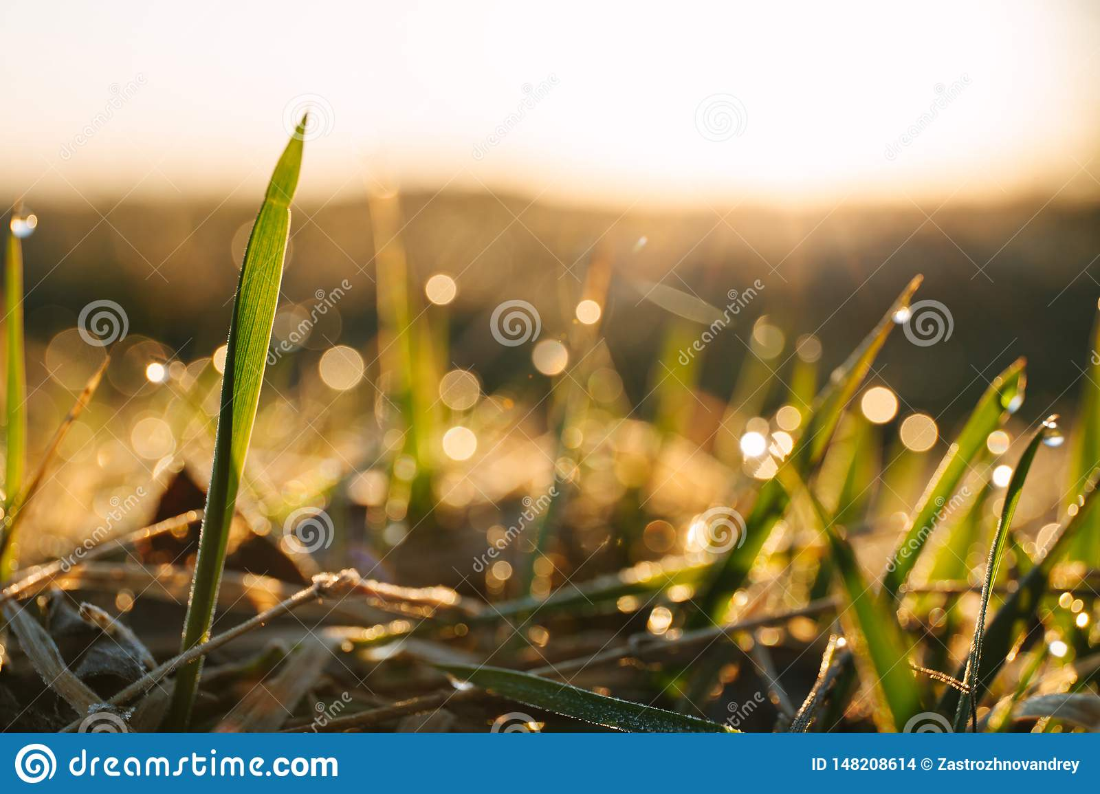 Dew drops on blades of fresh grass, morning rays of sun. Copy space for text