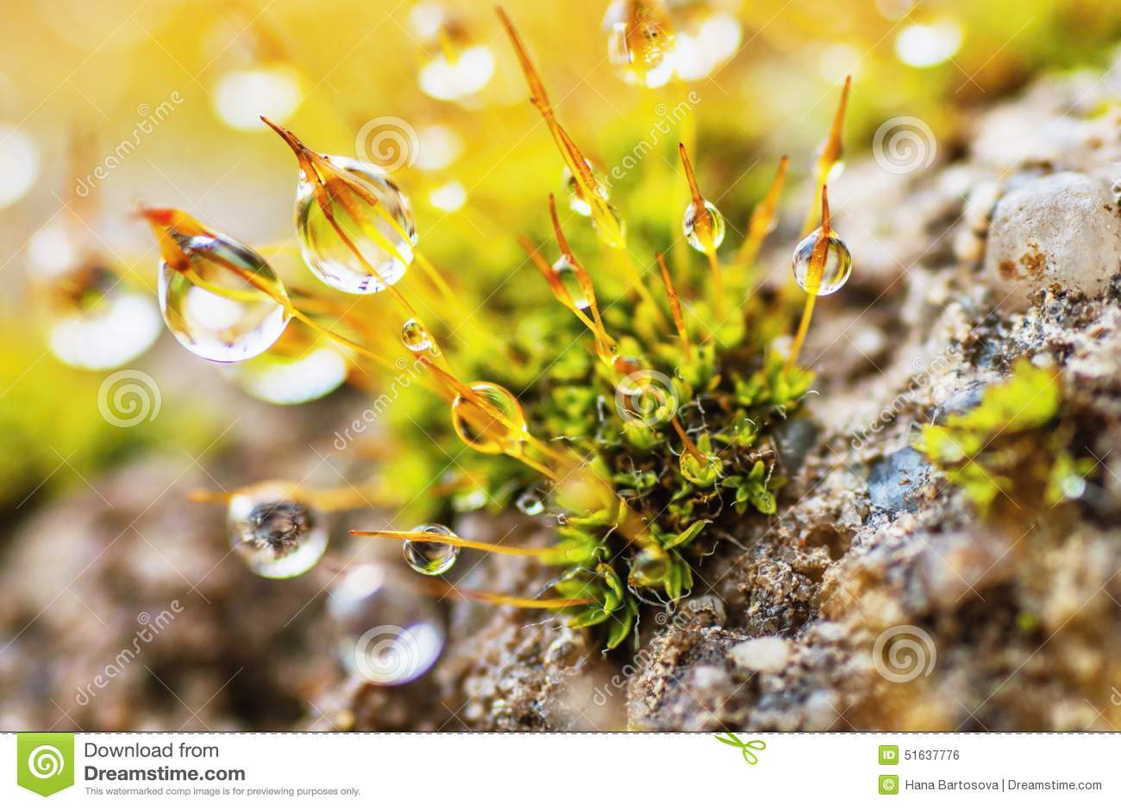 Dew drops on moss