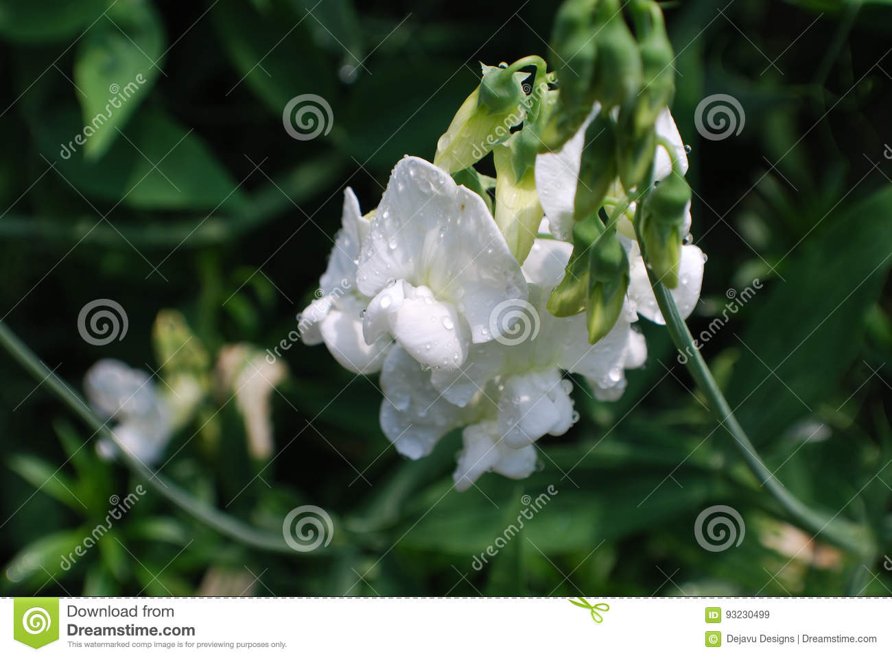 Dew Drops On A White Sweet Pea Flowering Vine Stock Image Image Of