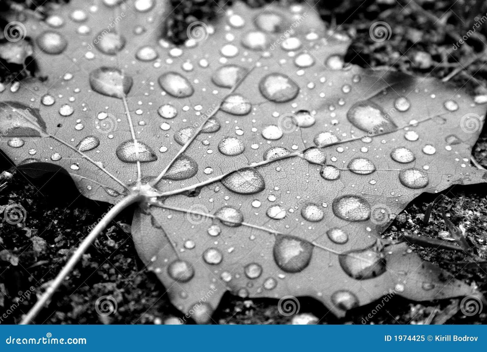 Dew On Maple Leaf Royalty Free Stock Photo - Image: 1974425