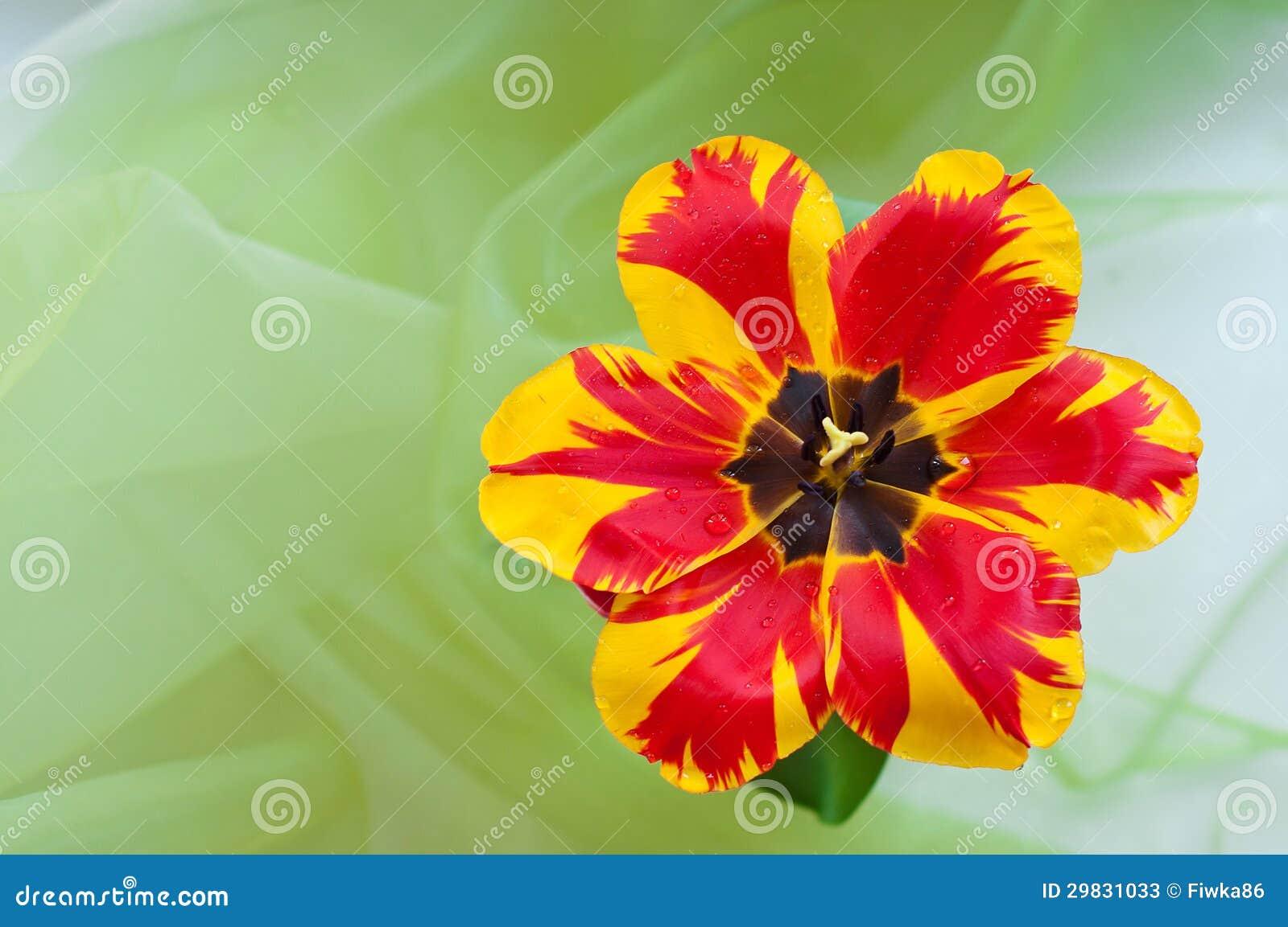 Tulipa bonita