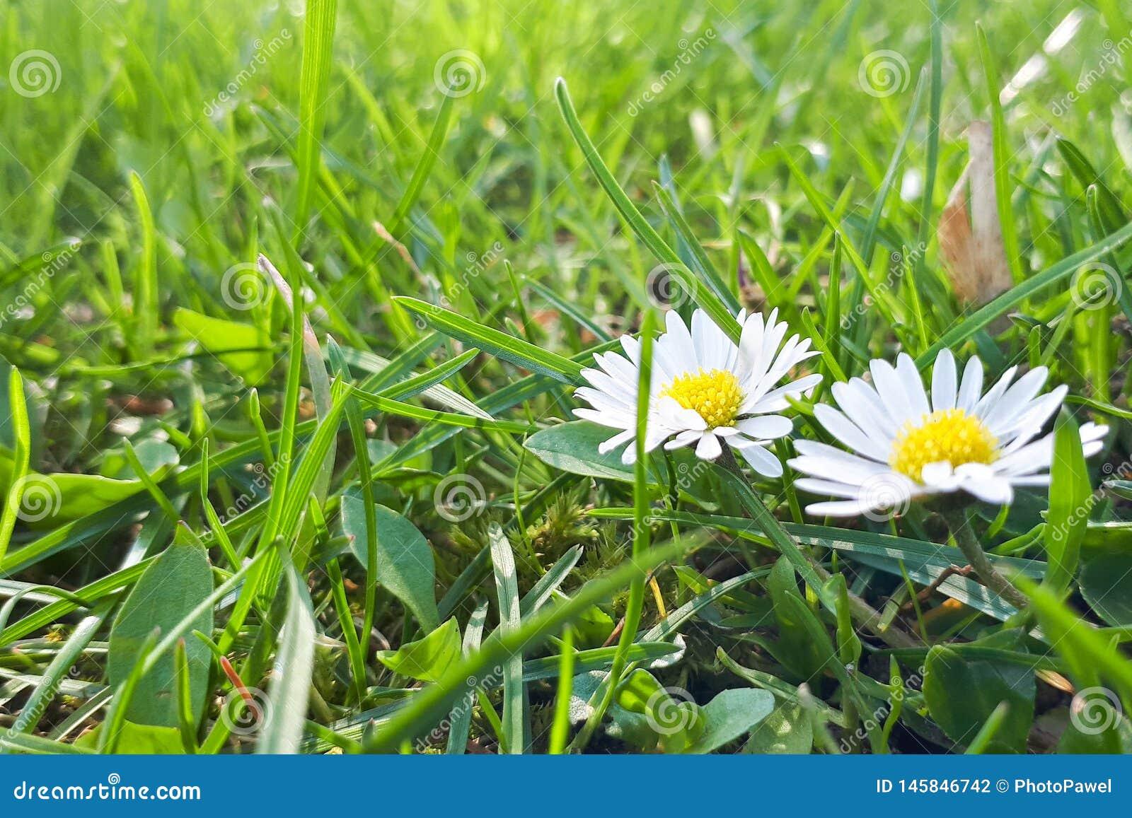 Dewy daisy flowers in grass. Soft focus.