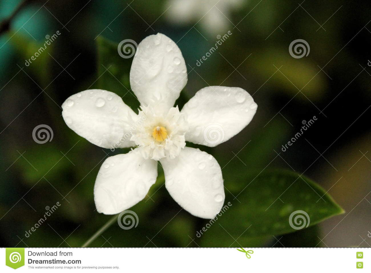 sampaguita flower  flower, Natural flower