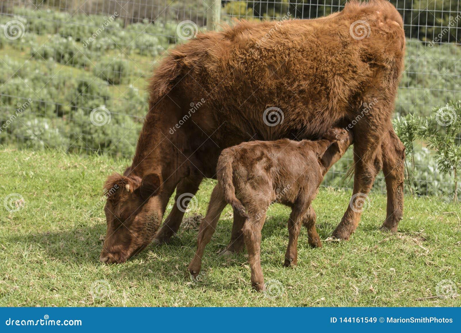 Dexter Cow vermelho, considerou uma raça rara, com a vitela que bebe dela como pasta na grama verde