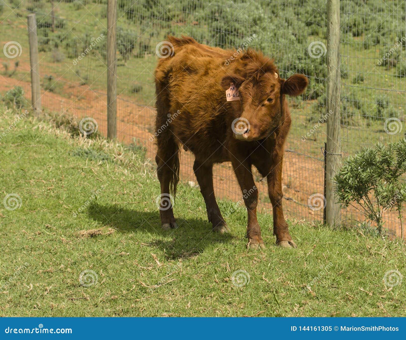 Dexter Cow vermelho, considerou uma raça rara, estando enfrentando a câmera no pasto verde