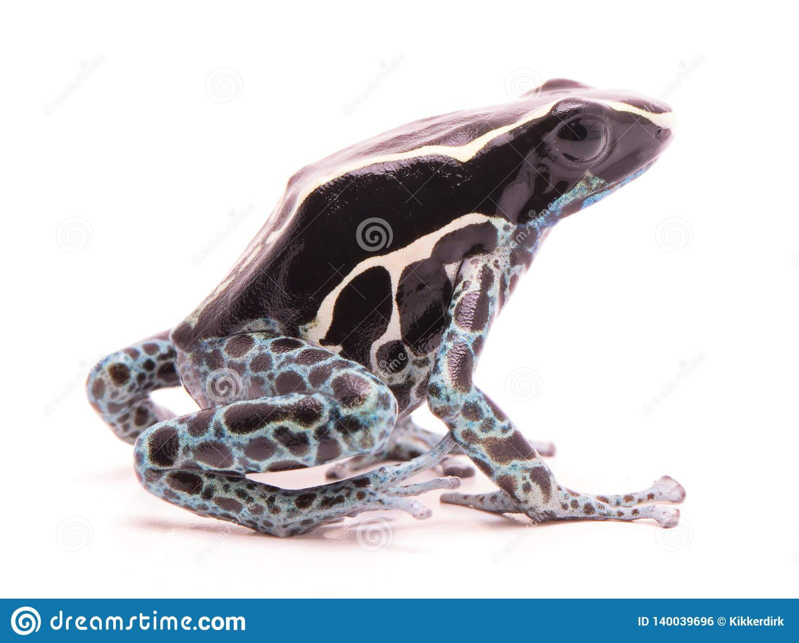Deying poison dart frog, Dendrobates tinctorius powder blue