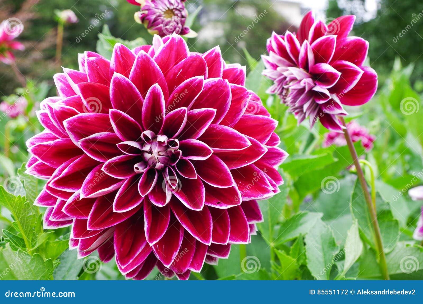 Dhalia Flower Stock Photo Image Of Dahlia Macro Abstract 85551172