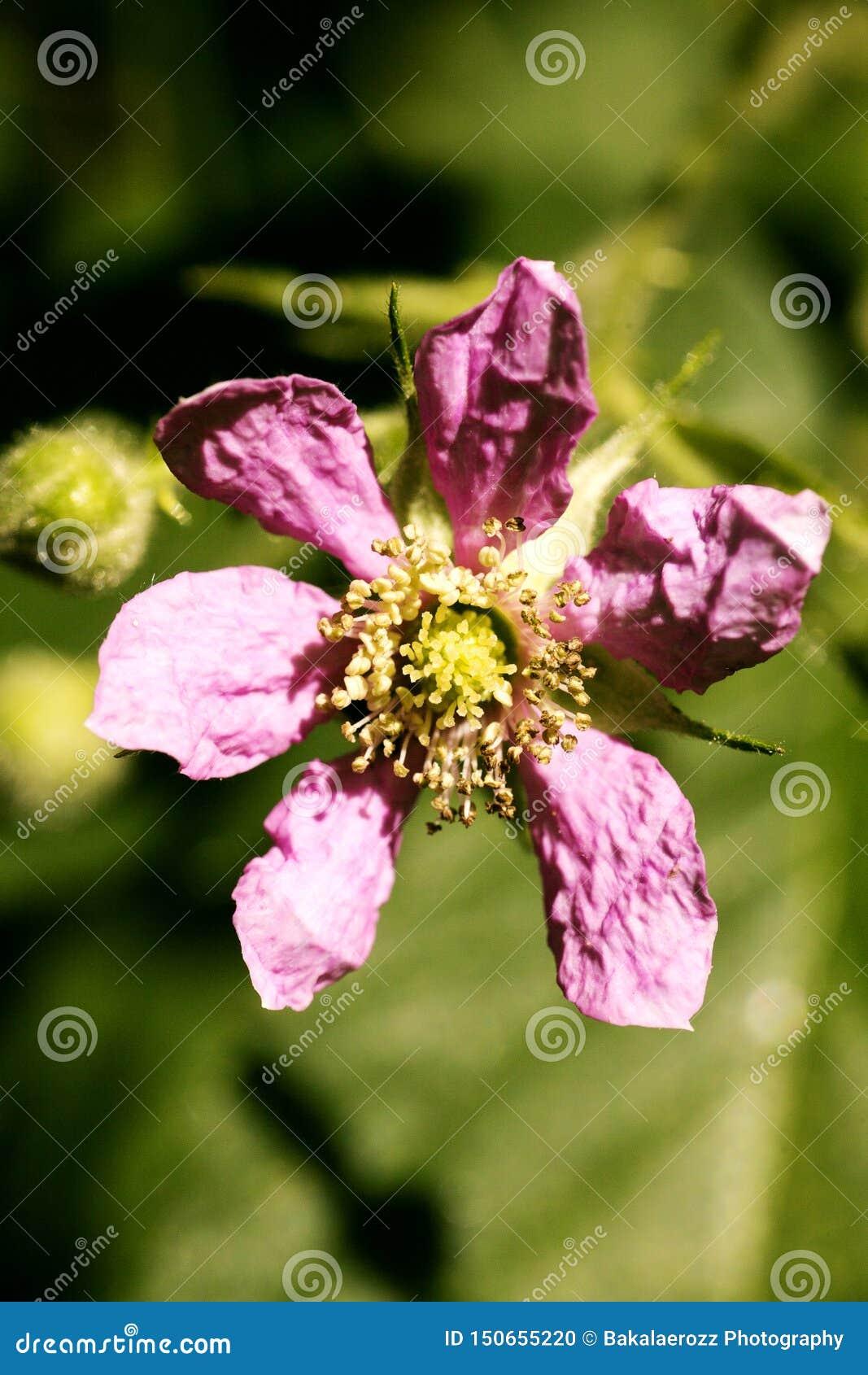 Di arti del fondo della famiglia di acni rosacee di rubus occidentalis del fiore macro nei prodotti delle stampe di alta qualità