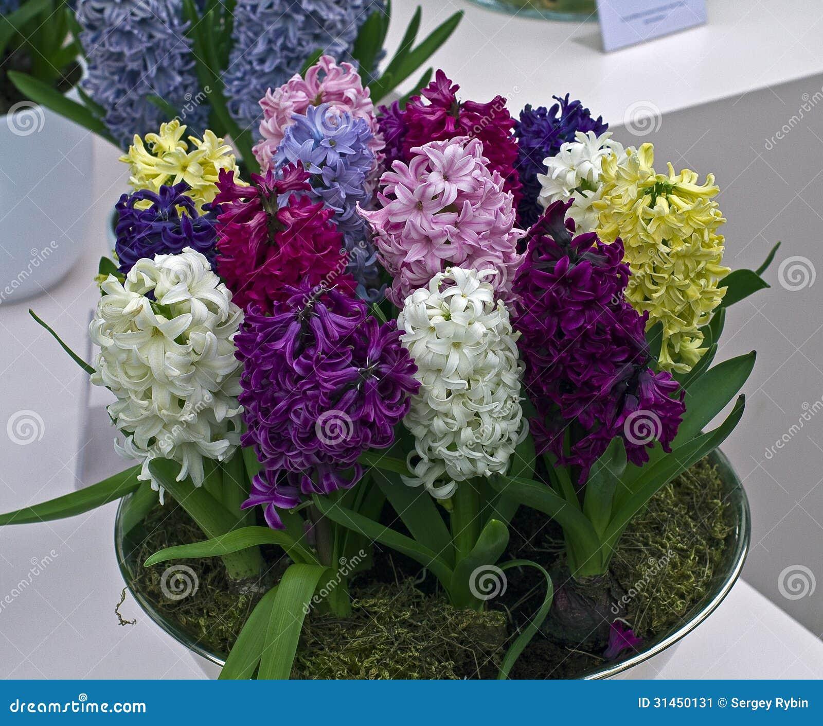 di giacinti colorati multi in un vaso immagine stock