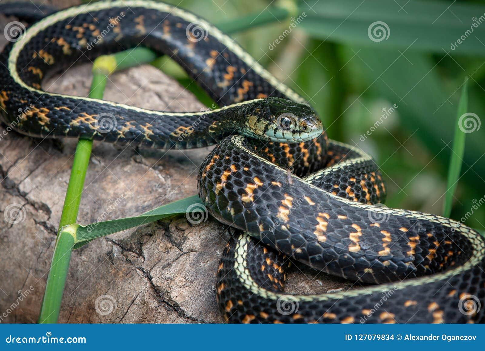 Di giarrettiera comune del serpente fine su