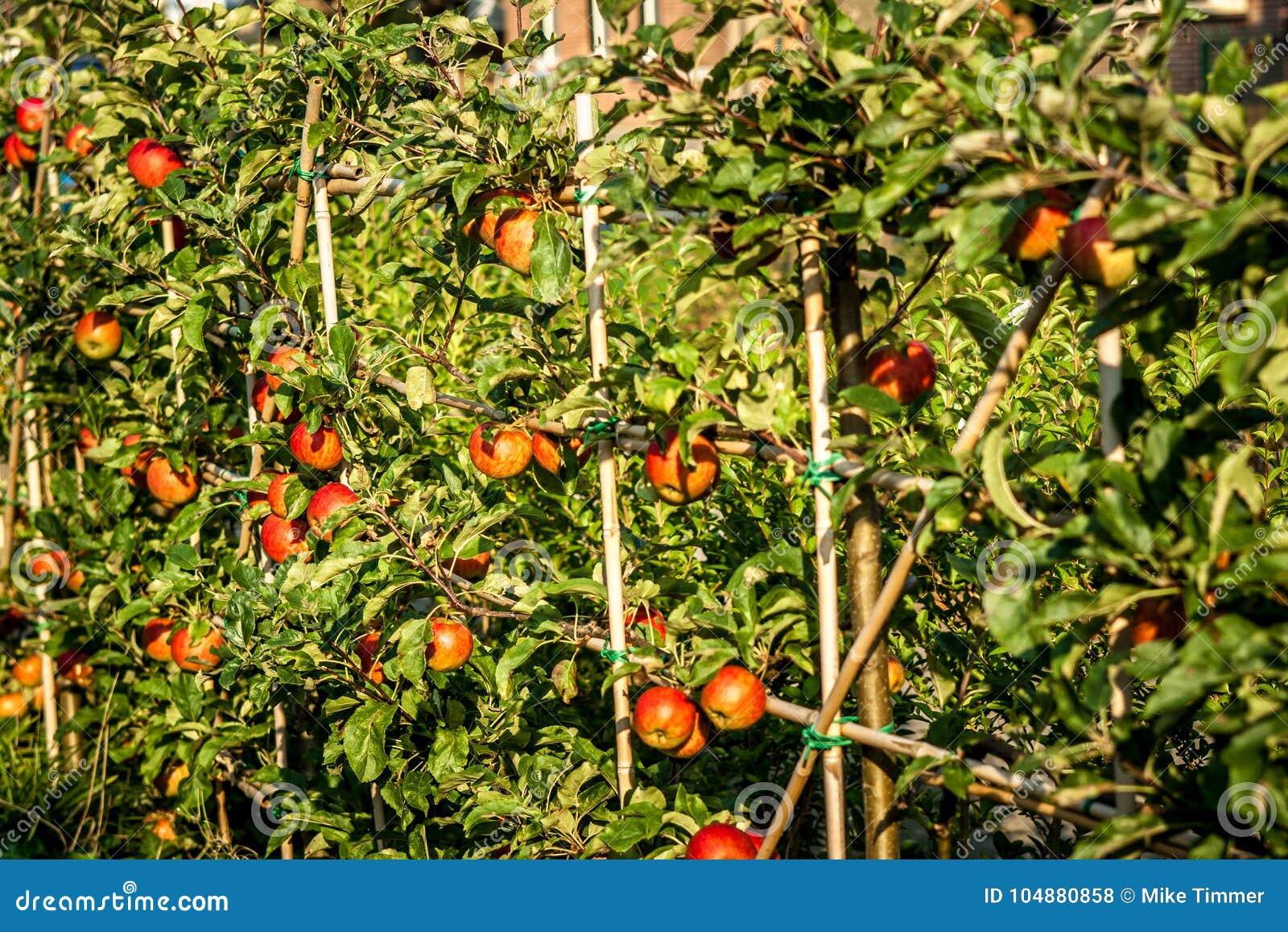 Di melo con le mele di abbondanza da selezionare