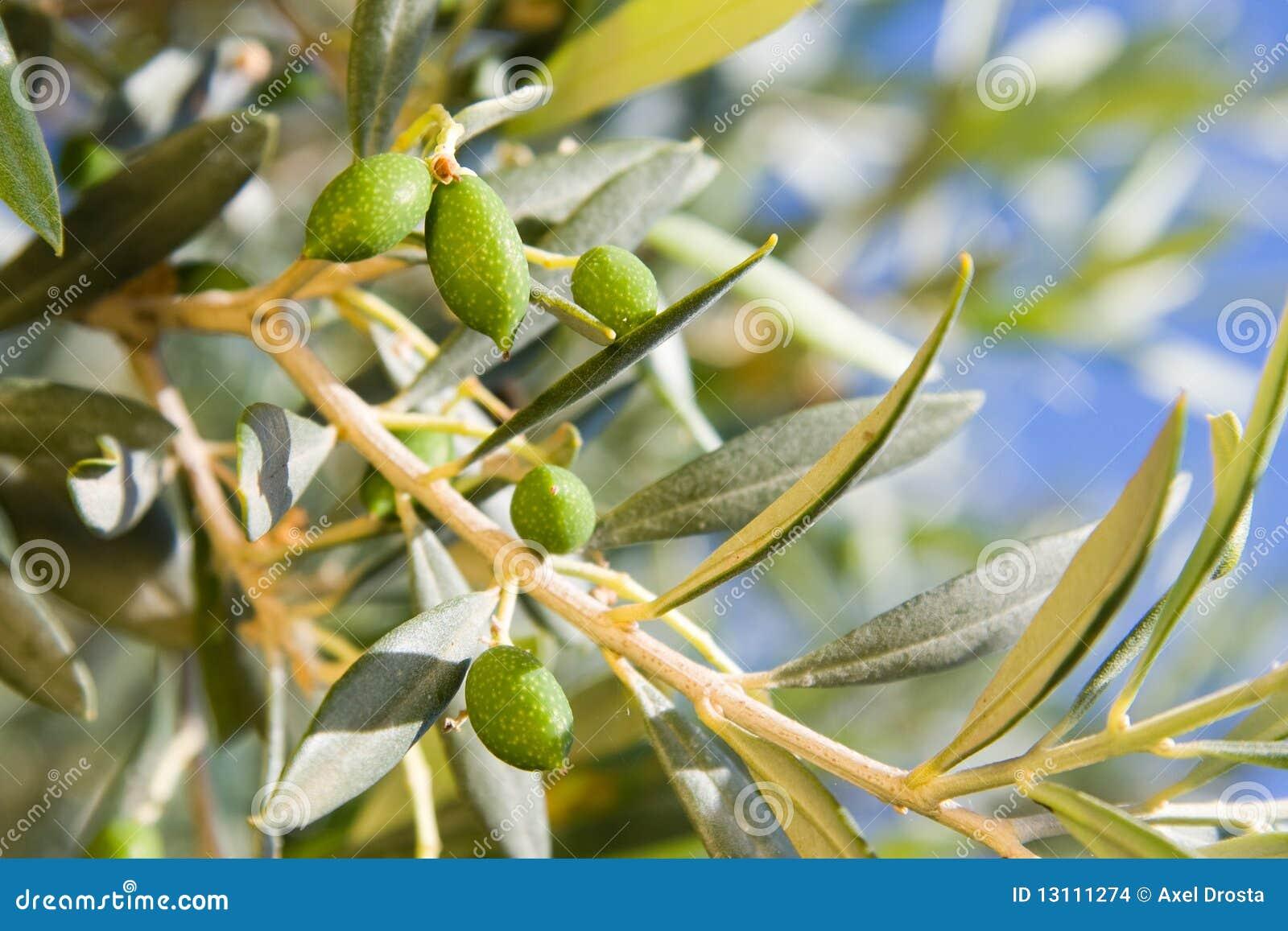 Di olivo immagini stock immagine 13111274 for Acquisto piante olivo