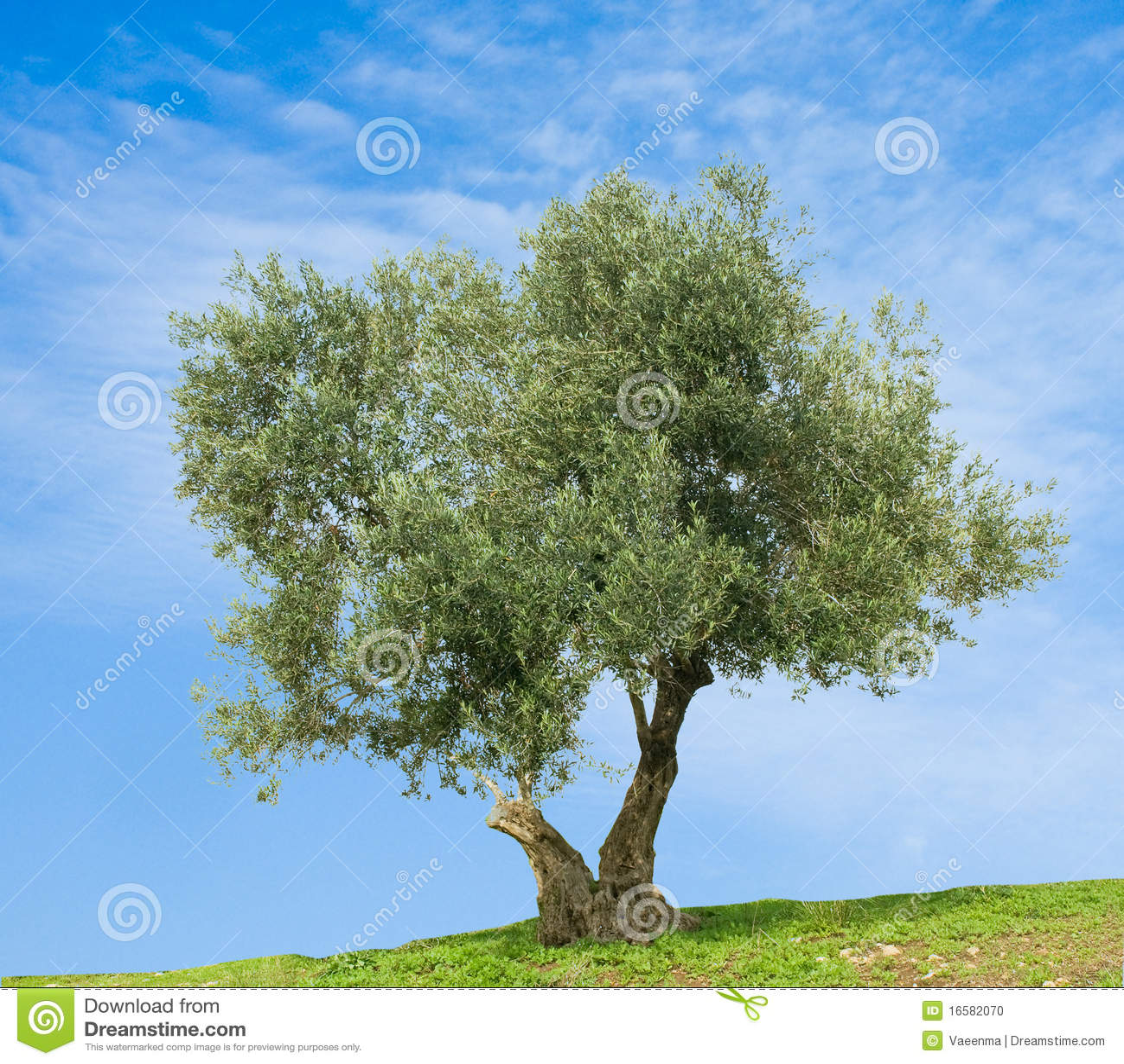 Di olivo fotografia stock immagine di piantatura oliva for Acquisto piante olivo