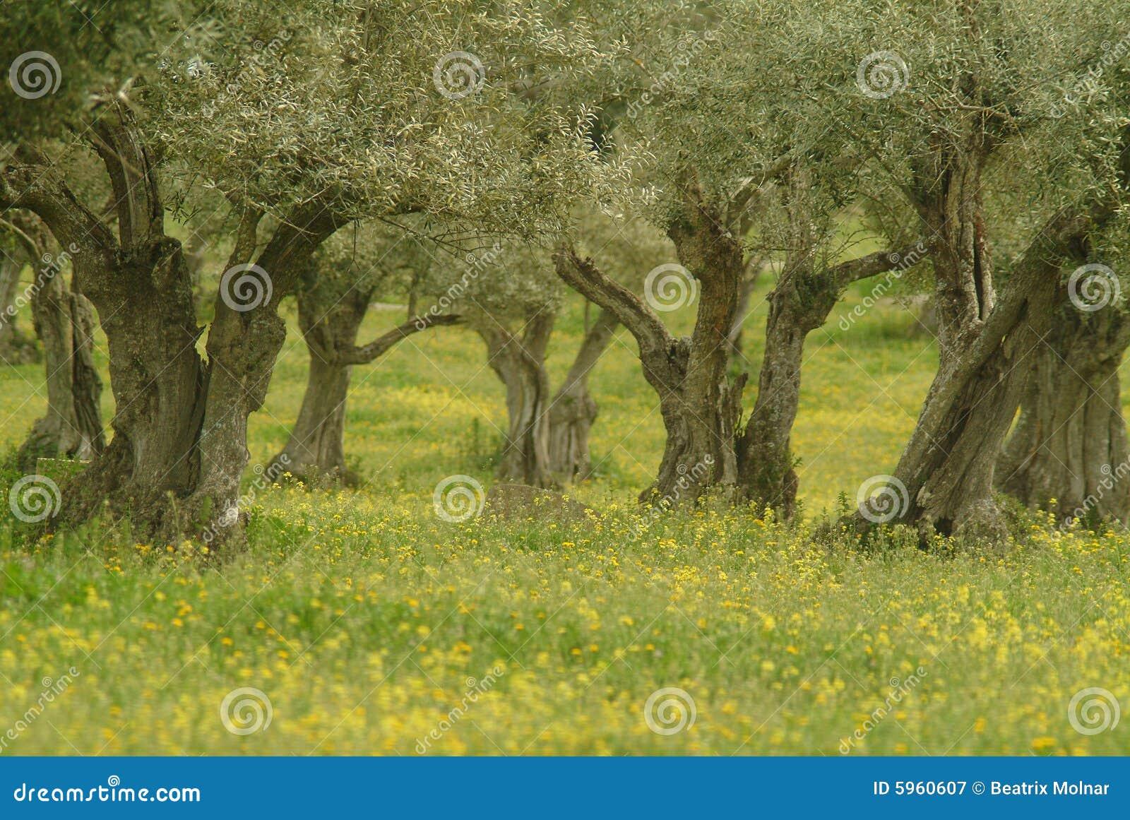 Di olivo immagine stock immagine di oliva coltivi fiori for Acquisto piante olivo