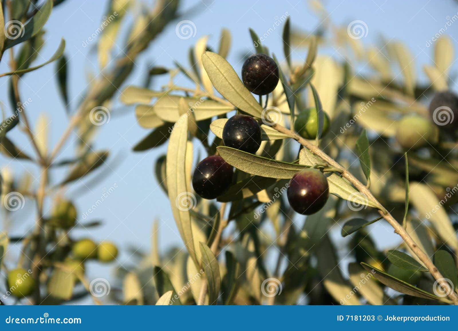 Di olivo immagine stock immagine di alimento olio for Acquisto piante olivo
