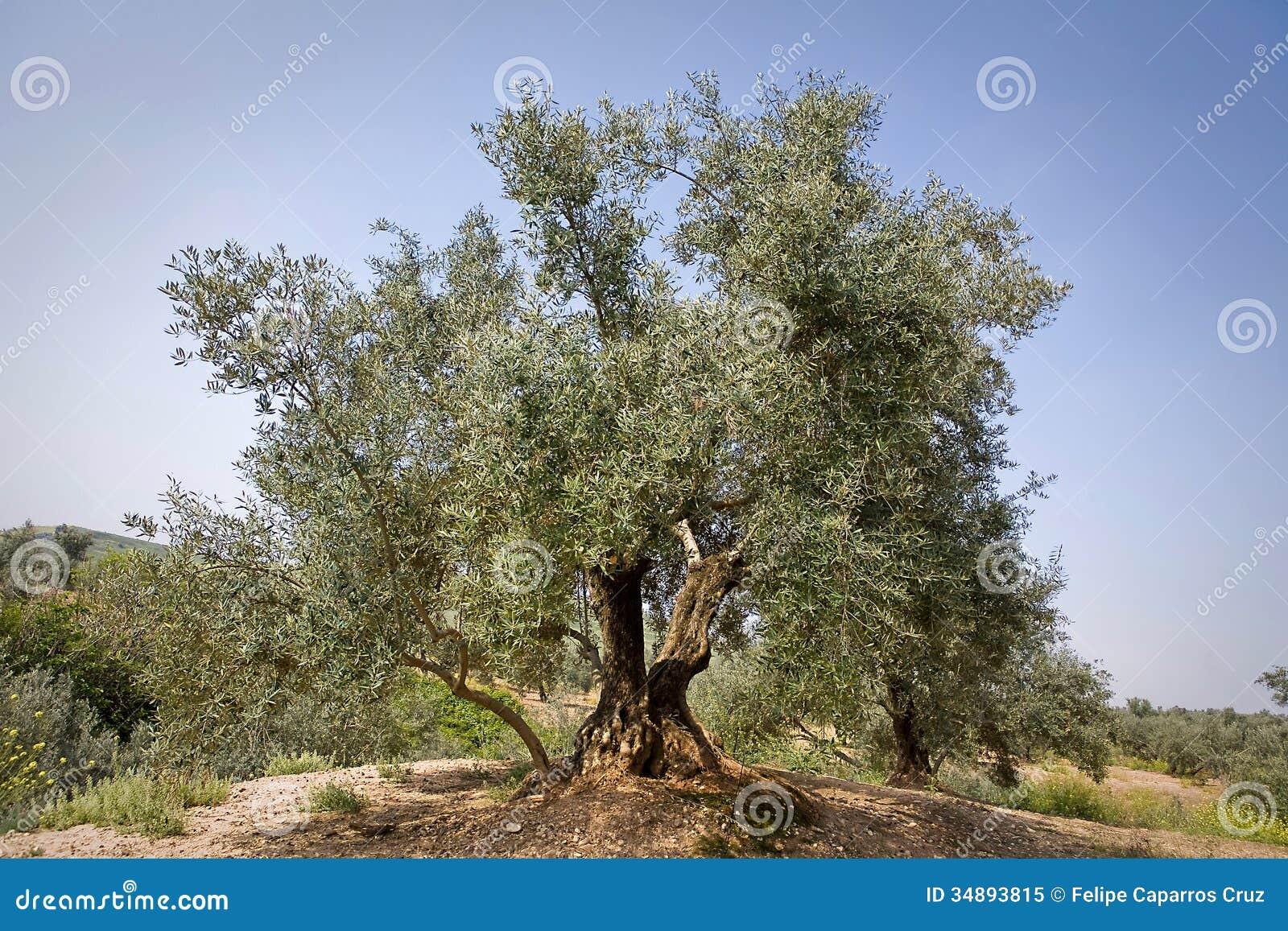 Di olivo dalla variet picual vicino a jaen fotografia for Acquisto piante olivo