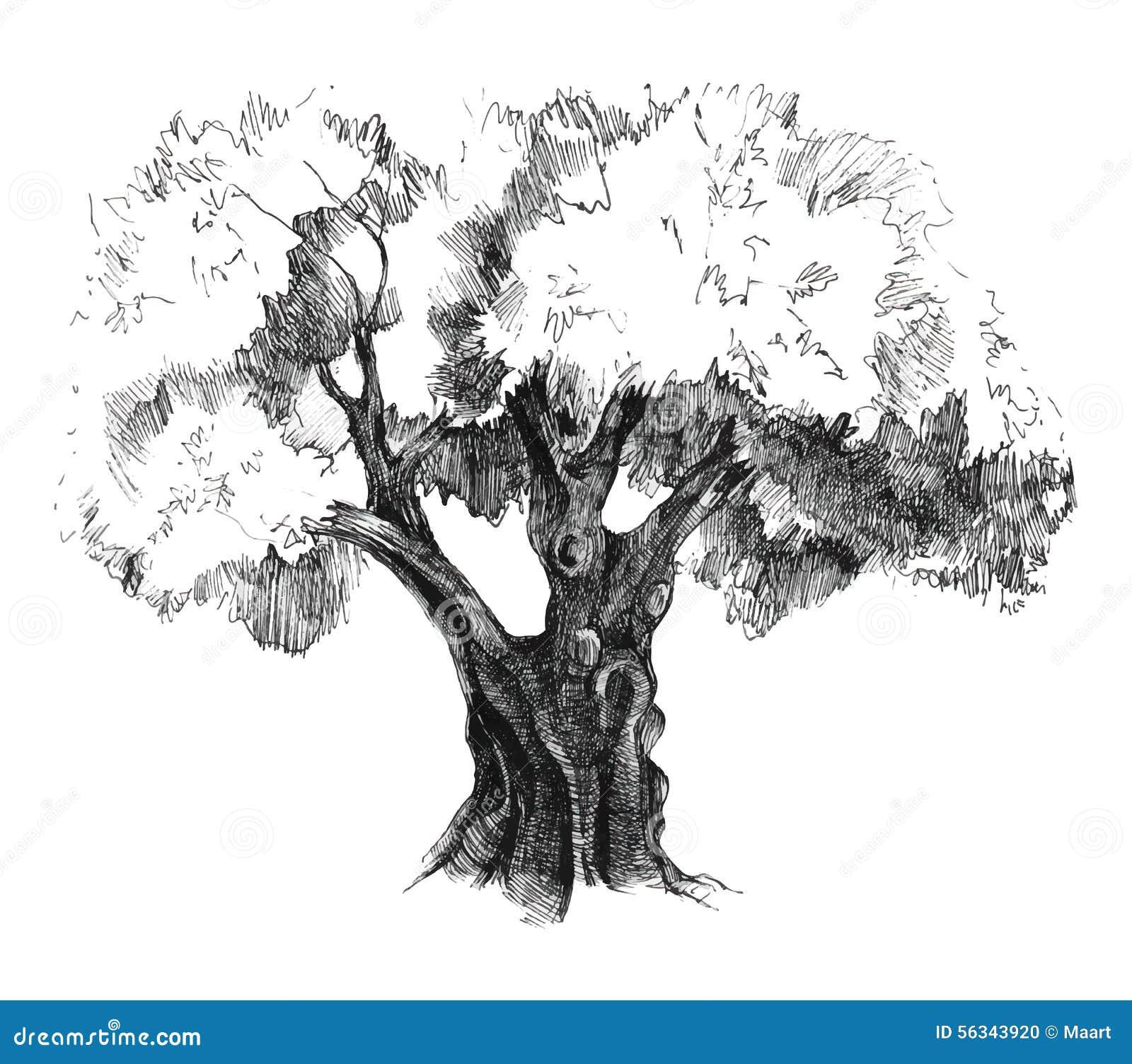 Di olivo disegnato a mano illustrazione vettoriale for Albero ulivo vettoriale