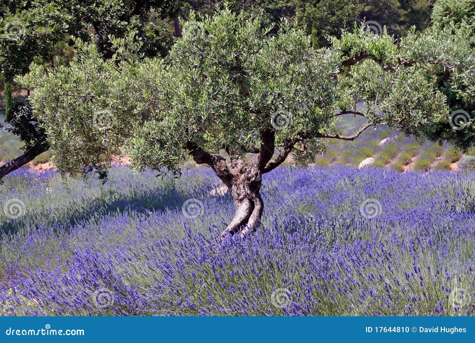 Di olivo e giacimento della lavanda francia 016 for Acquisto piante olivo