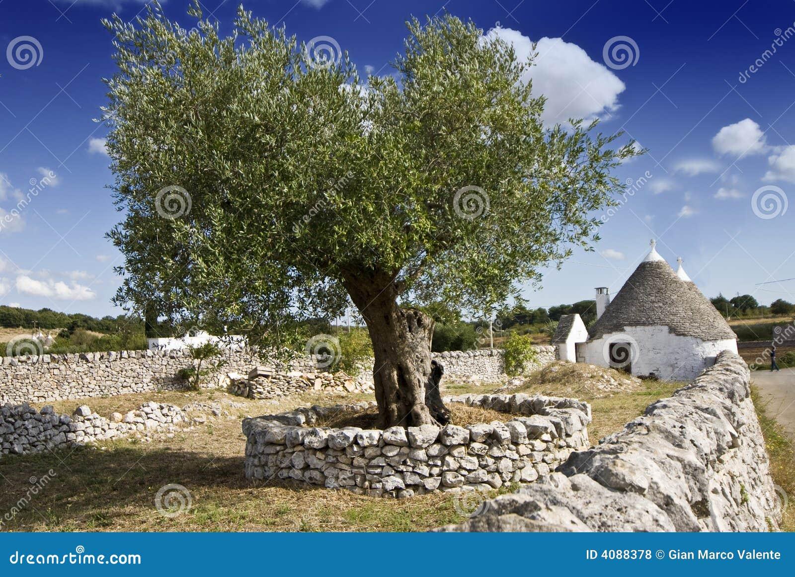 Di olivo e trullo fotografie stock libere da diritti for Acquisto piante olivo