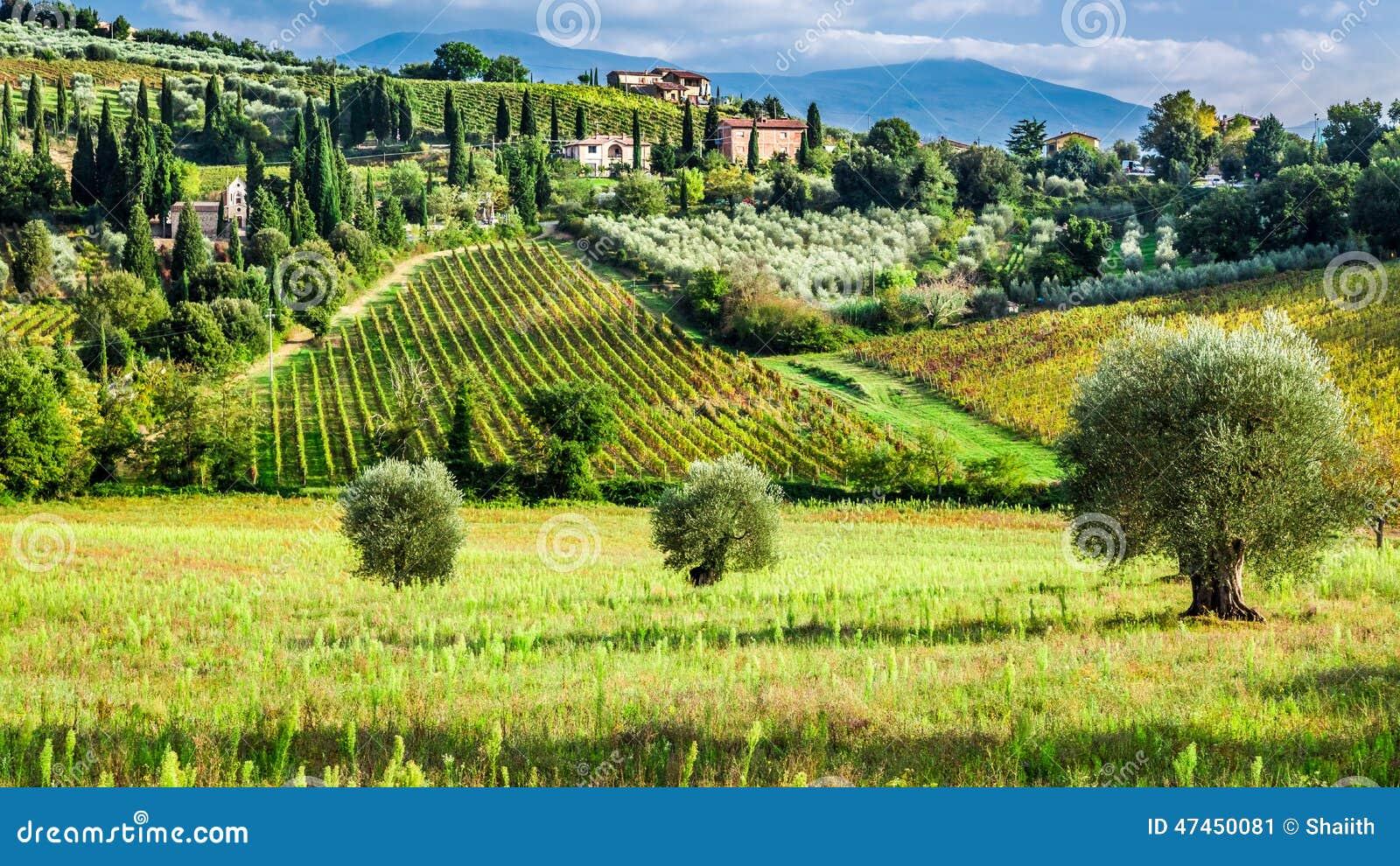 Di olivo e vigne in toscana immagine stock immagine di for Acquisto piante olivo