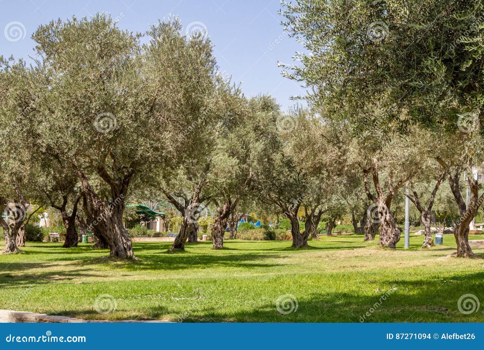 Di olivo nel parco gerusalemme fotografia stock for Acquisto piante olivo