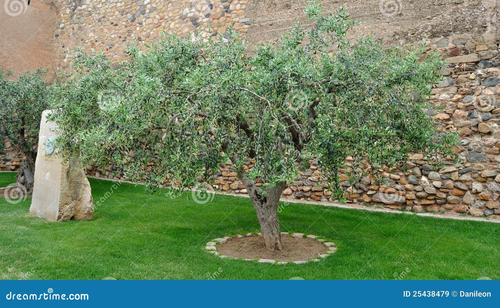 Immagine di di olivo in un piccolo giardino
