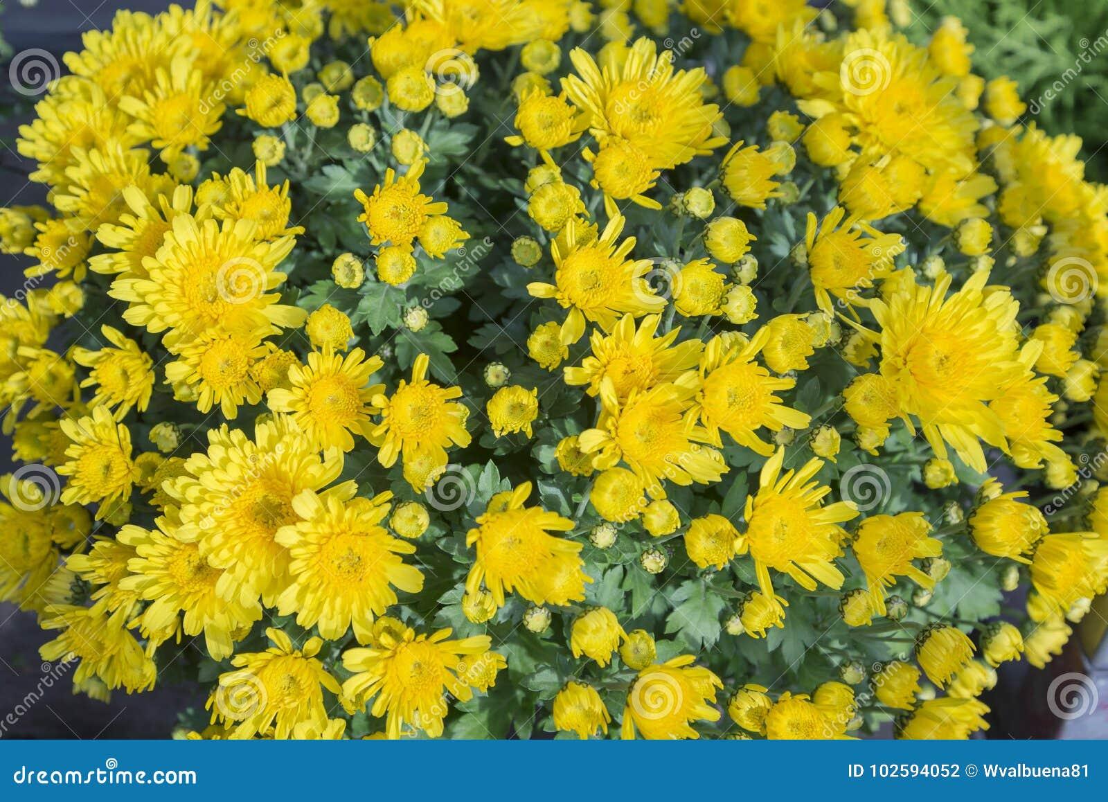` Di pectinatus di Euryops del ` - margherita gialla
