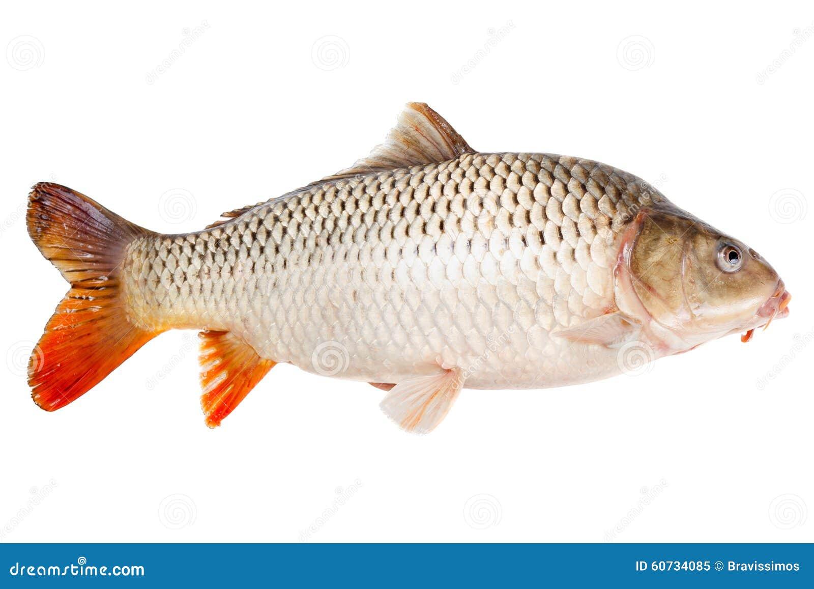 Di profilo del pesce della carpa isolato su fondo bianco - Pagina di colorazione del pesce ...