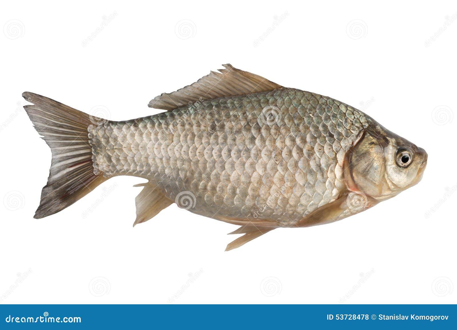 Di recente carassio del pesce di acqua dolce fotografia - Pagina di colorazione del pesce ...