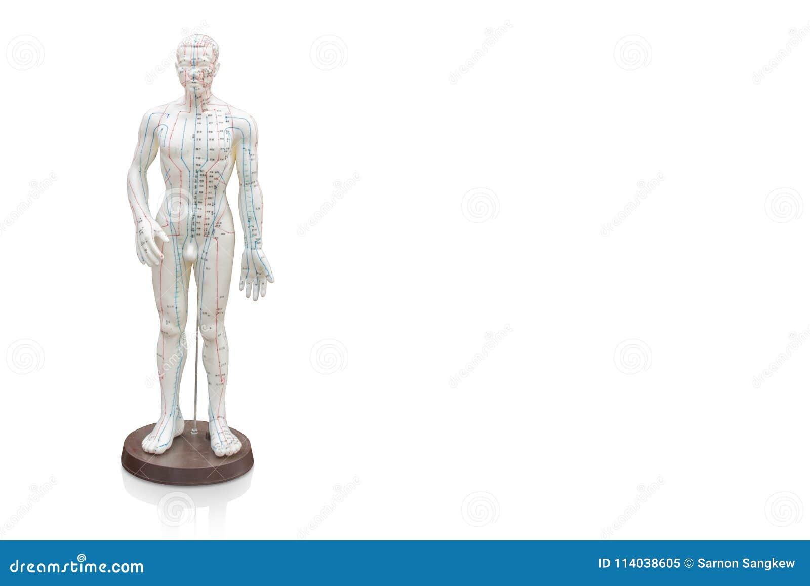Di schnitten Mann-Akupunktur-Modell auf weißem Hintergrund, Gegenstand, Kopienbadekurort