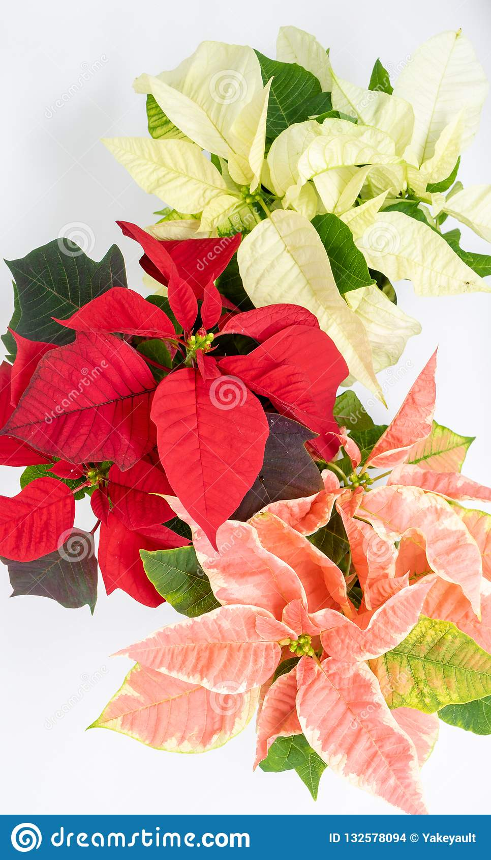 Immagini Di Natale Colorate.Di Stelle Di Natale Colorate Multi Contro Un Fondo Bianco
