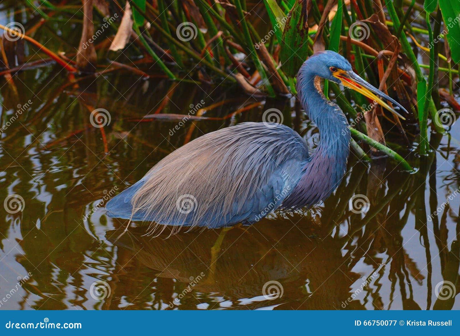 Di uccello colorato di tri dell airone