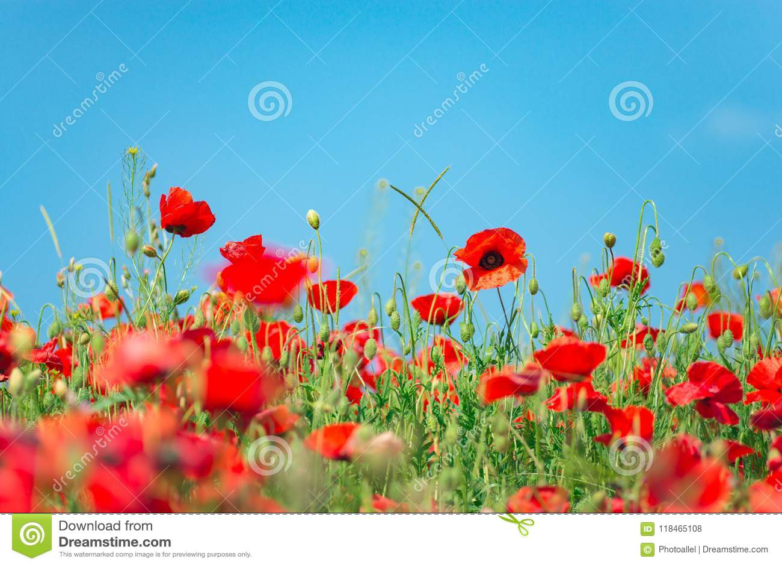 Dia da relembrança, Anzac Day, serenidade Papoila de ópio, planta botânica, ecologia Campo de flor da papoila, colhendo verão e m