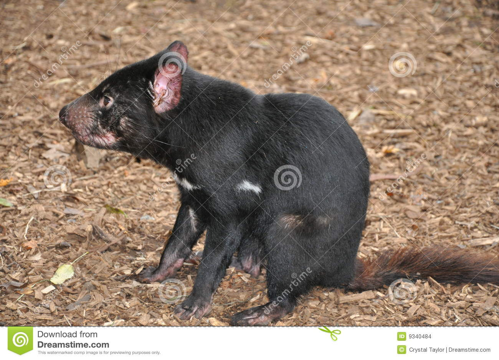 Diable tasmanien